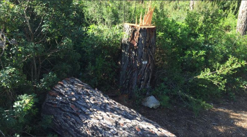 CELEBRACIÓN SALVAJE | Cortan árbol gigante y casi aplasta a multitud  (VÍDEO)