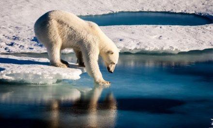EXHAUSTO Y DESNUTRIDO | Oso polar recorrió 700 km. en busca de alimento (VÍDEO)
