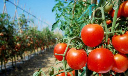 Perú: es uno de los centros de origen del tomate